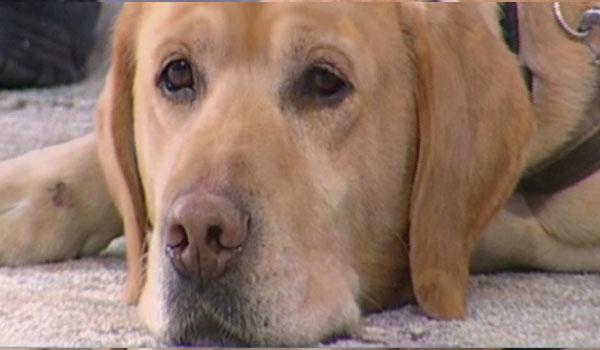 Αυτός είναι ο πρώτος σκύλος που βοηθά κακοποιημένα παιδιά! [Βίντεο]